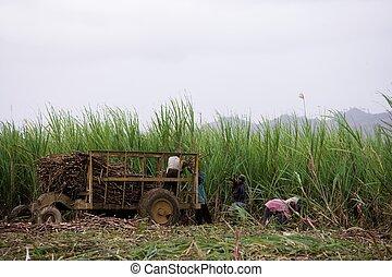 trabalhadores, sugar-cane