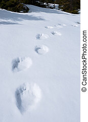 Traces of a bear in the snow