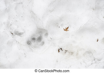 Traces of Tiger on the white snow in winter