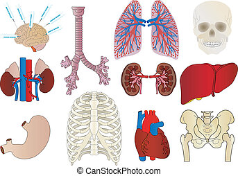 trachea, cuore, set, stomaco, vettore, persona, rene,...