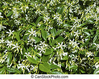 Trachelospermum jasminoides confederate, southern, star jasmine flowering plant sunny day background. Wild fresh aromatic jasmin with white flowers green leaves. Perfume oil used for perfumery.