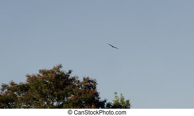 Tracking a brown hawk - A tracking shot of a brown big bird...