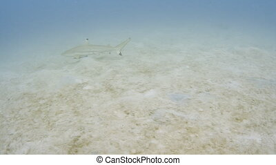 Tracking a growing shark on the sea floor