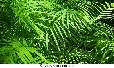 UHD video - Camera tracking across densely packed foliage of ferns in this tropical, Thai jungle. Delicately arrayed leaves splay outwards to capture the sunlight.