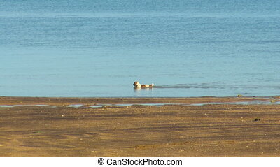 Tracking shot of a brown and white dog by the sea - Tracking...