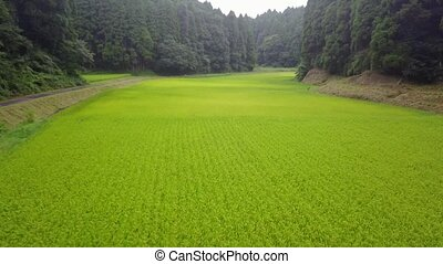 tracking shot of green rice farm among the forest