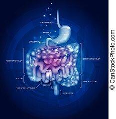 tracto gastrointestinal