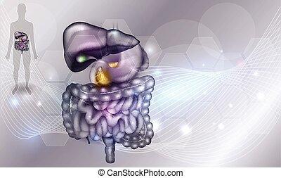 tracto gastrointestinal, hígado, estómago, y, otro, circundante, órganos, detallado, colorido, dibujo