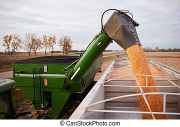 Tractor emptying its load of harvested maize