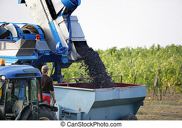 Tractor harvesting grapes