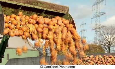 Tractor loading Pumpkins