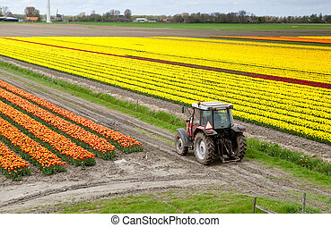 tractor on the tulip field