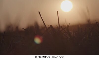 Close up of stubble in the field during sunset with blurred tractor passing by