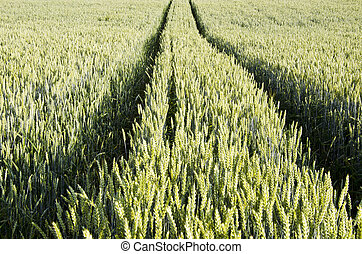 Tractor tracks left in agricultural wheat field.