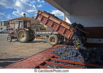 Tractor with gathered grapes