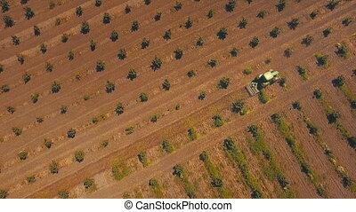 tractor work the land on the plantation of hazelnut