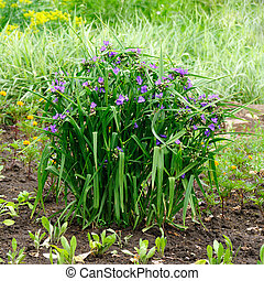 Tradescantia virginiana flowers in garden