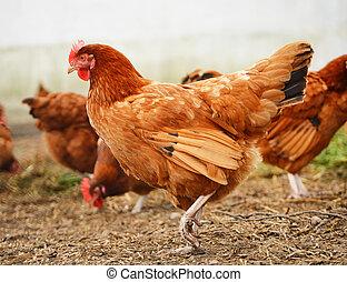 tradicional, alcance livre, aves domésticas, agricultura