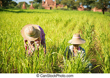 tradicional, asiático, trabalhando, agricultores