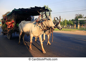Traditional carriage drawn by cows in Cambodia
