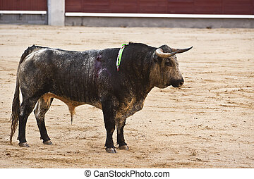Traditional corrida - bullfighting in spain