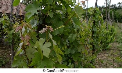 Traditional Cultivation of Vine Gra - A traditional...