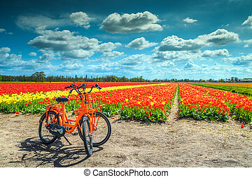 Traditional Dutch colorful tulip fields near Amsterdam, Netherlands, Europe