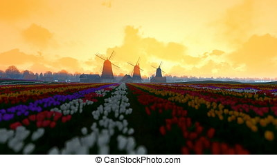 Traditional Dutch windmills with vibrant tulips in the...