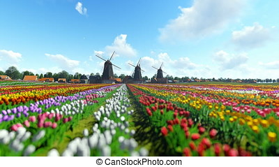 Traditional Dutch windmills with vibrant tulips in the foreground over blue sky, panning