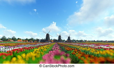 Traditional Dutch windmills with vibrant tulips in the foreground over timelapse blue sky