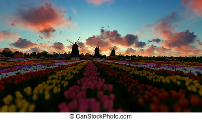 Traditional Dutch windmills with vibrant tulips in the foreground, timelapse sunrise
