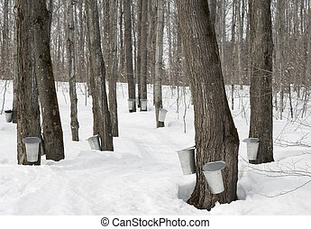 Traditional maple syrup production in Quebec, Canada.