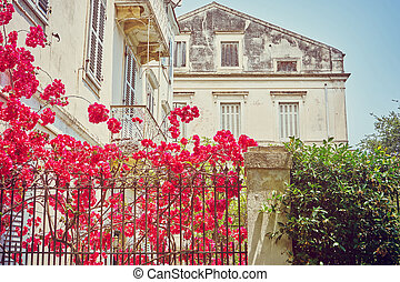 Traditional old greek house with flowers of bougainvillea, Corfu