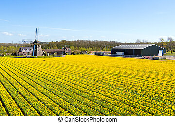 Traditional windmill with a blossoming tulip field in the Netherlands