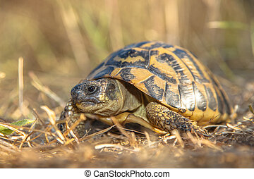 traditionally, tortue, (testudo, une, placé, hermann's,...