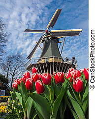 traditionnel, vibrant, éoliennes, tulipes, hollandais