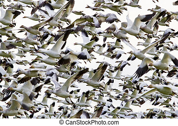 Traffic Jam Hundreds of Snow Geese Flying in a Group