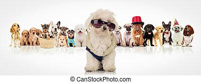 Tragen, sonnenbrille, Sitzen,  bichon,  Front, hunden