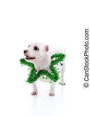 Tragen, stern, Lametta, hund, grün, junger Hund