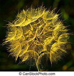 Tragopogon - a medicinal plant - For distribution on large ...