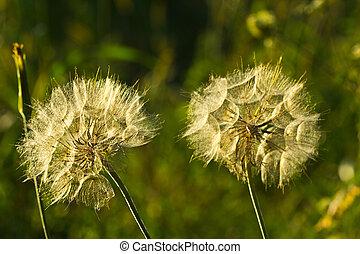 Tragopogon - a medicinal plant - Seeds of Tragopogon with ...
