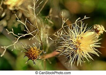 Tragopogon - Field flower. Autumn, Closeup. Dark background