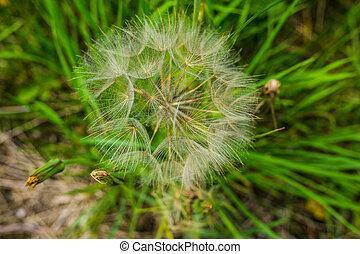 Tragopogon, goatsbeard or salsify is like a huge dandelion ...