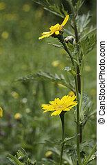 Tragopogon orientalis yellow flower in garden in Holland