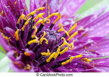Tragopogon porrifolius - mcro photography of Purple Salsify ...