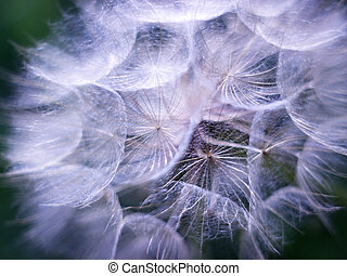 Tragopogon pratensis - blossom single flower dandelion (...
