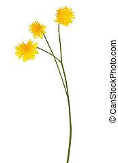 Tragopogon pratensis flower, meadow salsify flower isolated ...
