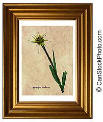 Tragopogon pratensis in herbarium - Herbarium from pressed ...