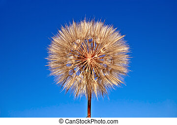 Tragopogon pratensis on blue sky