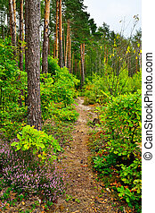 Trail in a pine forest